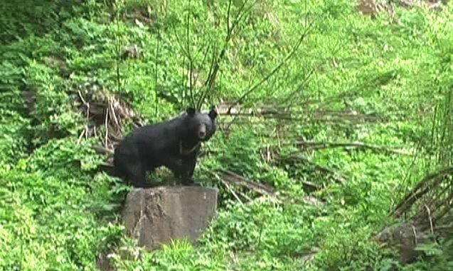 himalayan-black-bear-at-ghnp