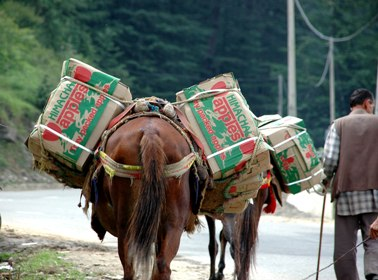 Packaged apple boxes carried on horse back for marketing