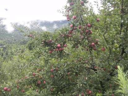 A loaded apple tree-Sarahan