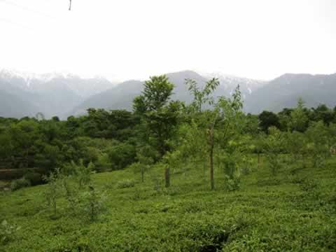 File Photo: Tea Gardens