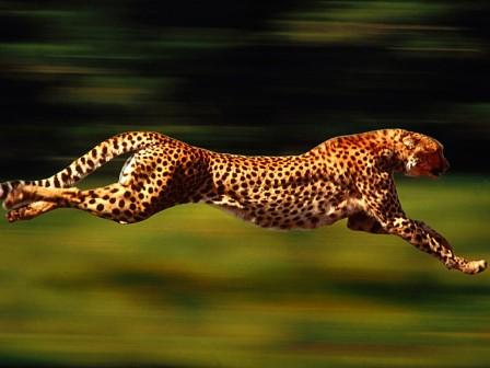Cheetah rehablitation blue print ready  Hill Post
