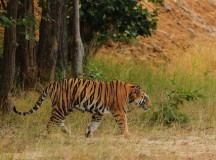 Van Gujjars Linked To Tiger Death in Uttarakhand