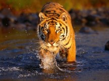 Poaching forces e-surveillance to save Indian Tigers