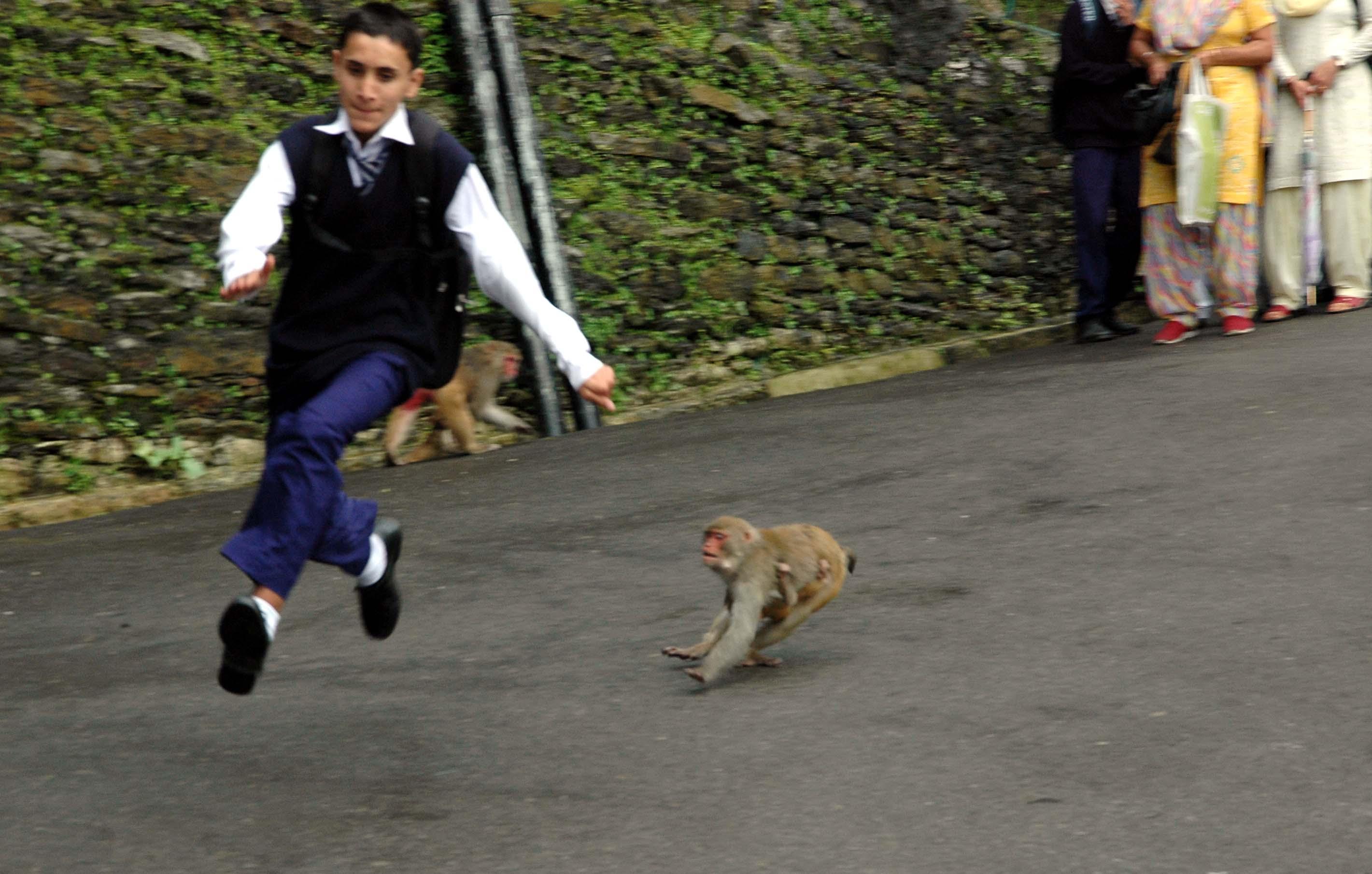 13 Sept 2011-monkey menace in Shimla