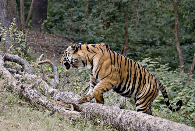 Not enough forests for increasing tiger count