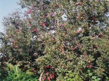 Reliance on Nepalese labor gnaws Himachal apple growers