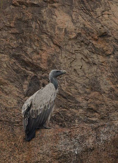 Indian Vulture under threat from cattle medicine