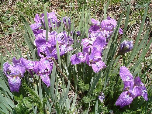Iris Flowers Himalayas