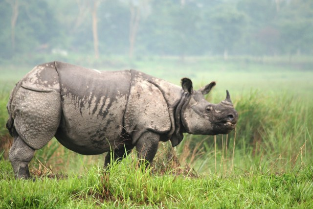 Caption: A one-horned rhino stands guard against potential intruders in their main home in Kaziranga National Park. This majestic animal was once found across much of northern India but is now confined only to a few protected areas (Photo : Prabal Sarkar/ Wildlife Trust of India (WTI).