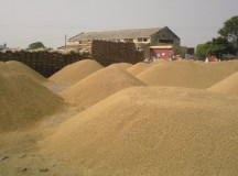 Punjab procures record paddy