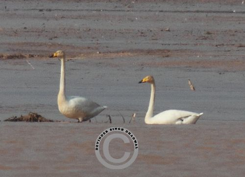 Pair of Whooper Swans In Pong Wetland
