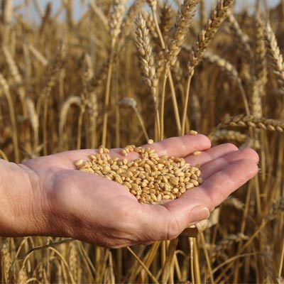 Subsidised grain for non-poor families to continue