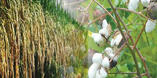 After Punjab, Haryana also wants higher MSP on paddy, cotton