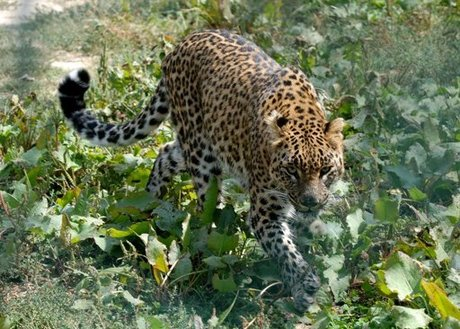 Hunters shoot down suspected man eater leopard
