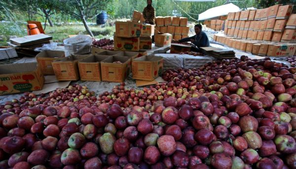 Himachal to start apple procurement from July 22