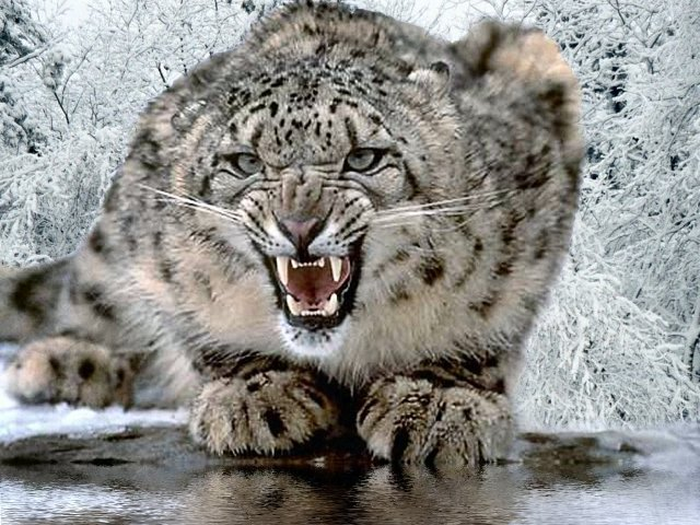 Uttarakhand to conduct snow leopard census