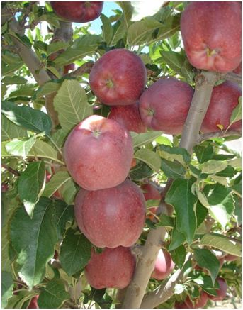 Spiti special royal apples; Photo Dr Amit Vikram