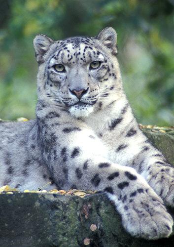 snowleopard_01.jpg