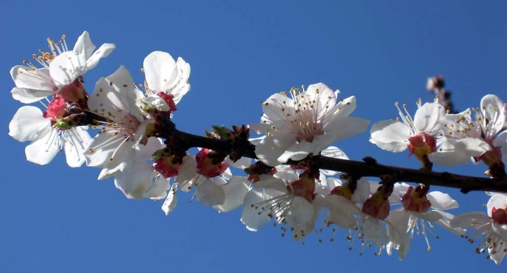 Blossom at Shuru