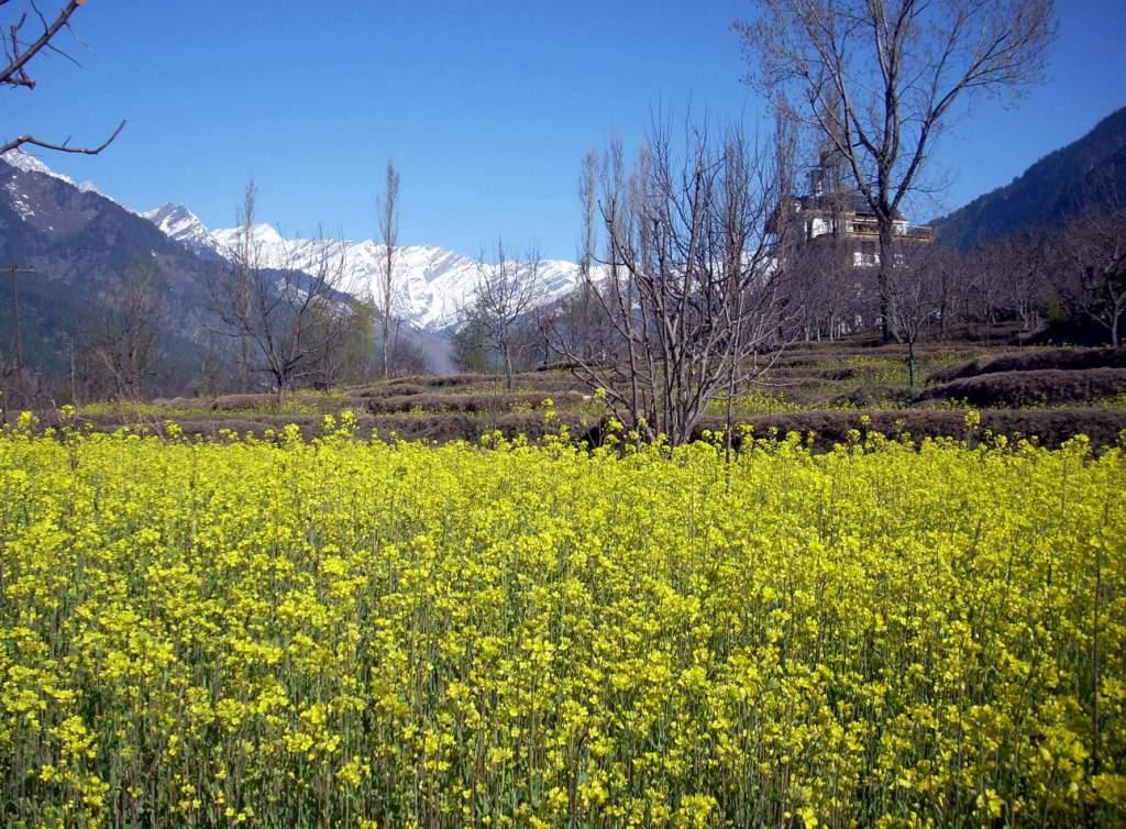 Mustard fields, Shuru.