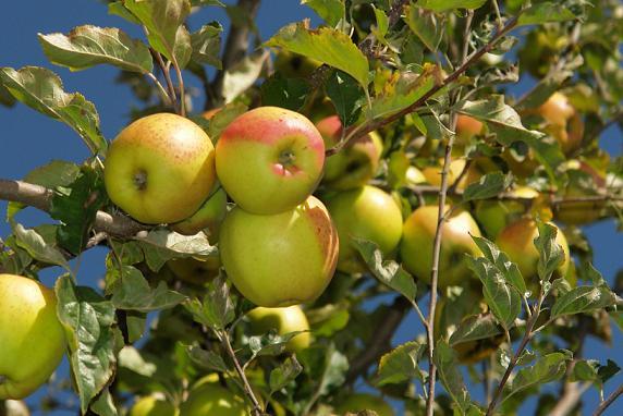 Apple,KALPA