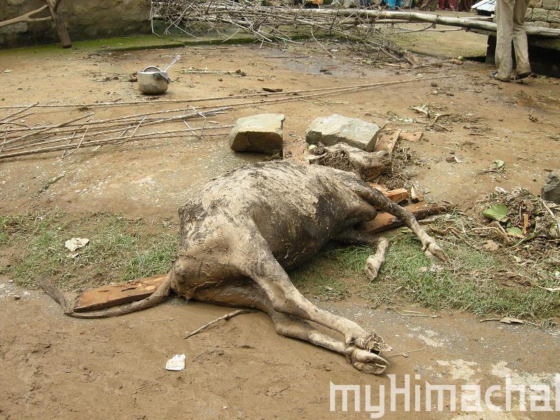 mandi cloud burst, 15 cattles dead