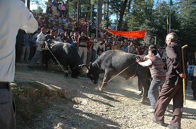buffaloes fight 2