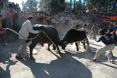 buffaloes fight