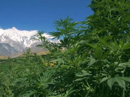 marijuana-bushes