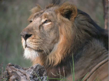 Asiatic Lions losing out in their only habitat in Asia