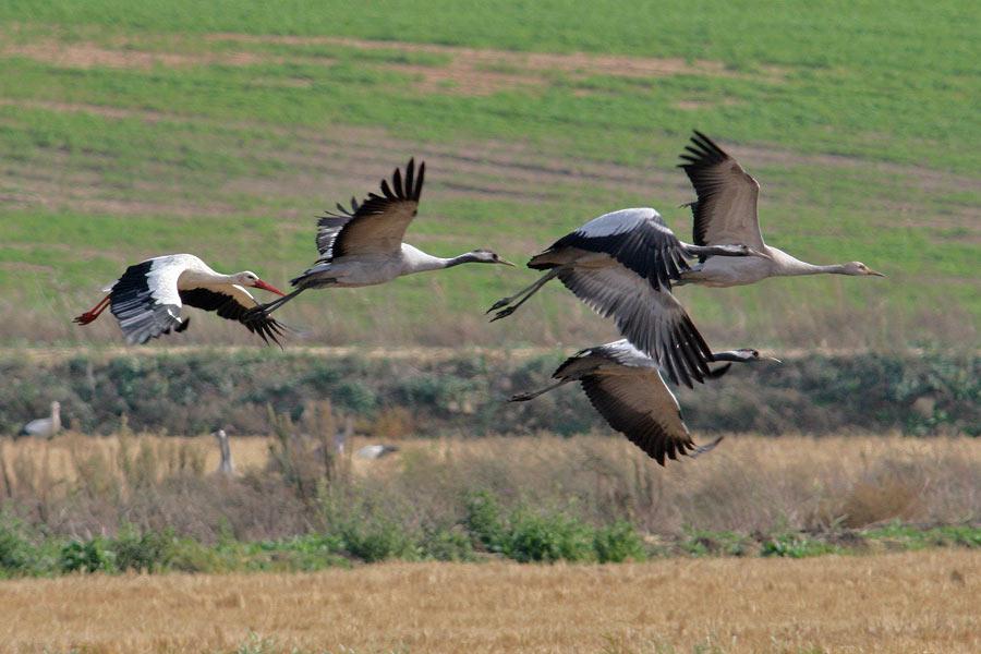 Cranes, storks thriving in Uttar Pradesh wetlands