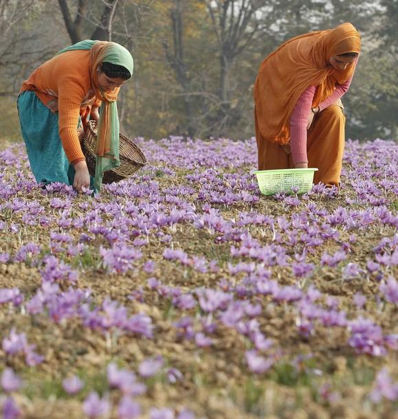 Kashmir tries to revive 'saffron' the magical spice