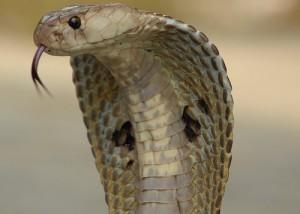 Many flirt with cobra drug on V day