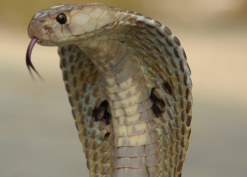 Many flirt with cobra drug on V day