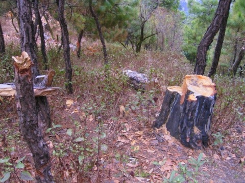 Illegal cutting of trees ,hunting in Palampur