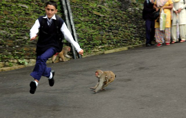 Children and women face the brunt of monkey attacks in Shimla