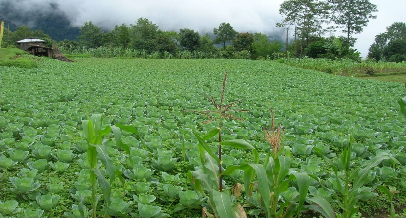 Eco-friendly cabbage being sown in Sikkim, which intends to become fully-organic state by 2015