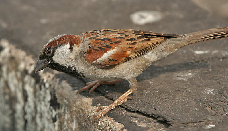 House Sparrow(Passer_domesticus)-Male