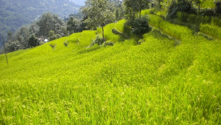 Organic rice being grown in Sikkim. The state intends to become fully-organic by 2015.