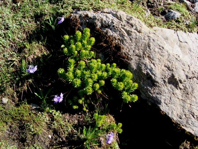 Pic 7 -Exotic Plants - Shrikhand Kailash Mahadev Trek