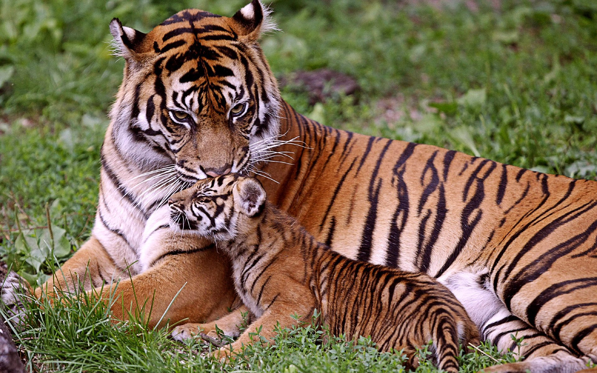 Save the Tiger, Uttarakhand News, Wildlife, Corbett National Park, Tiger Corridor