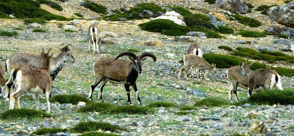 HImalayan Sheep Bharal in Spiti Valley