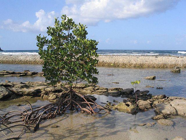Mangrove Trees Tsunami