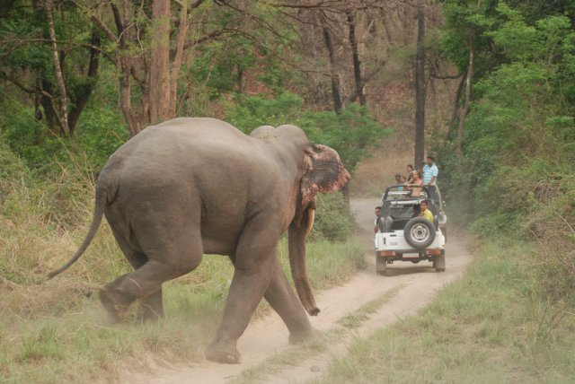 Asian_Elephant_at_Corbett_National_Park