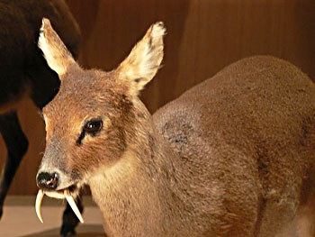 Musk Deer Male Uttarakhand