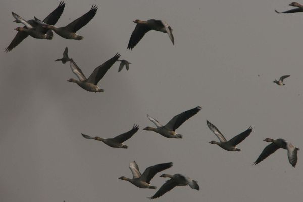 Migratory birds fly over the Hokersar wetland reserve in the Kashmir valley