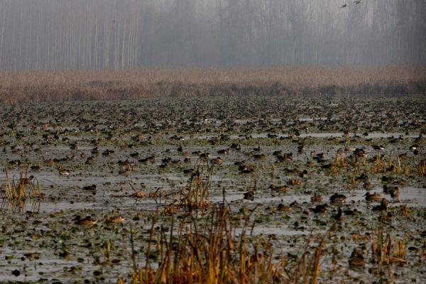 Migratory birds swim in the Hokersar wetland reserve in the Kashmir valley