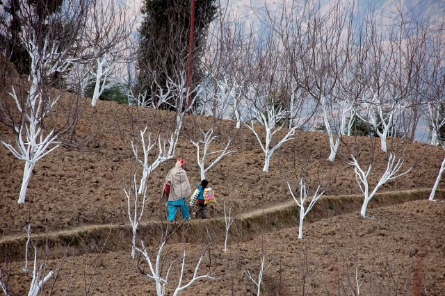 A woman with her child walks through apple orchards in Himachal