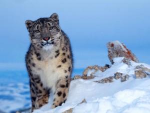 Snow Leopard - Himachal and Uttarakhand Wildlife