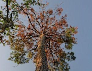 drought killing trees